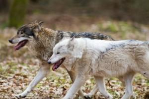 12900858-dwa-biegnace-przez-wschodnie-wilki-w-lesie